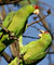 Red-crowned Parrots