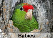 Baby Parrot Gallery