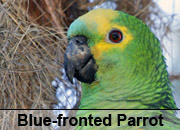 Blue-fronted Parrot Gallery