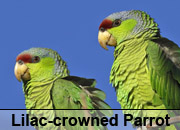 Lilac-crowned Parrot Gallery