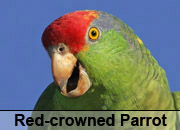 Red-crowned Parrot Gallery