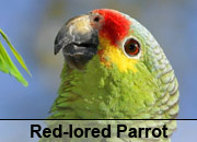Red-lored Parrot Gallery