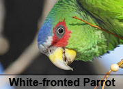 White-fronted Parrot Gallery