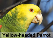 Yellow-headed Parrot Gallery
